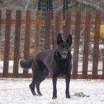 German Shepherd standing in the snow