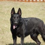 Black German Shepherd with tongue out