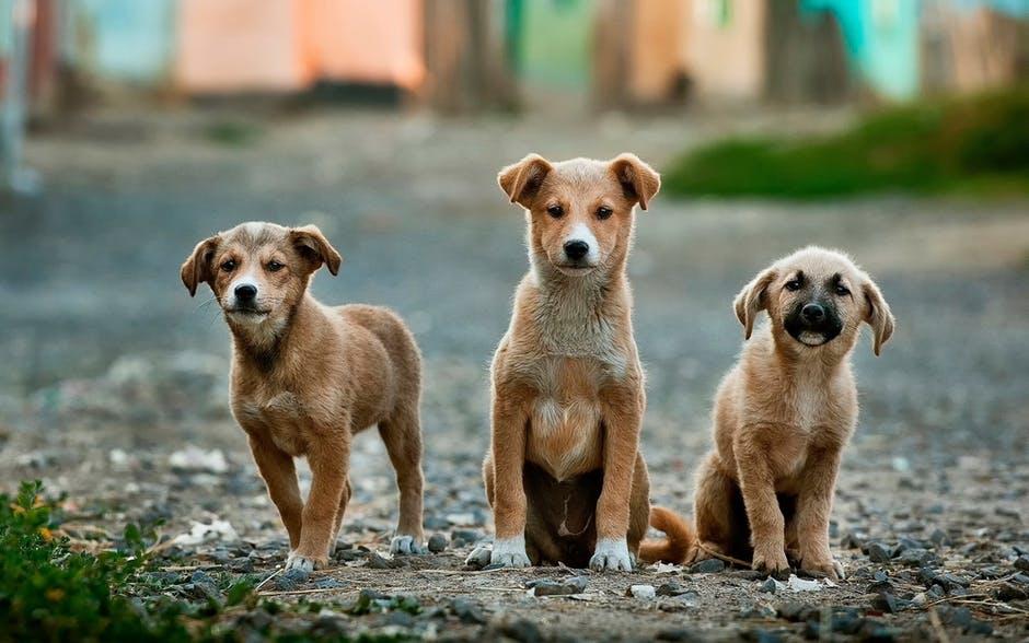 Adoção de Cachorros   Uma fêmea pode gerar até 73 mil filhotes em seis anos.
