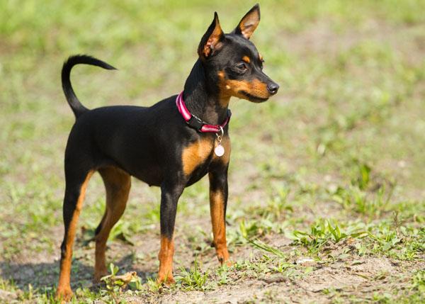 Nomes para cachorro | Pinscher