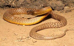 animais mais perigosos do mundo cobra