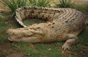animais mais perigosos do mundo crocodilo