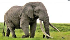 animais mais perigosos do mundo elefante