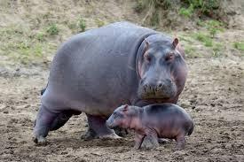 animais mais perigosos do mundo hipopotamo