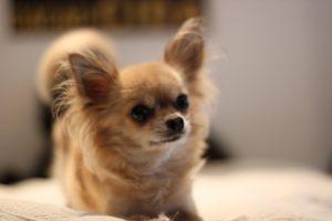 cachorros fofos chihuahua