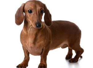 cachorros fofos dachshund