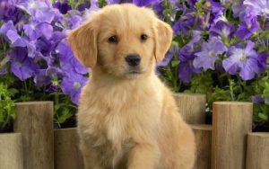 cachorros fofos golden