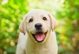 cachorros fofos labrador