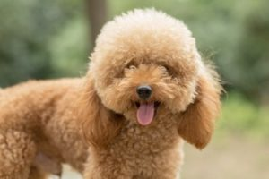 cachorros fofos poodle