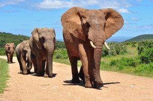 maior animal do mundo elefante