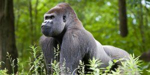 maior animal do mundo gorila