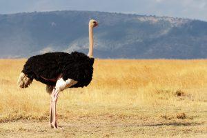 maior animal do mundo avestruz