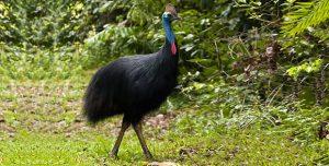 maior animal do mundo casuar