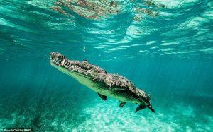 maior animal do mundo crocodilo marinho