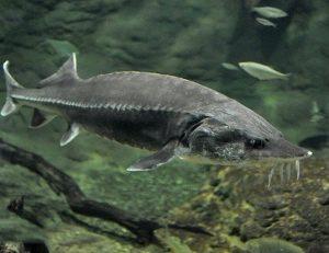 maior animal do mundo esturjao