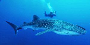 maior animal do mundo tubarão baleia