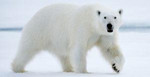 maior animal do mundo urso polar