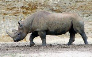 Animais extinto recentemente: Rinoceronte Negro Ocidental