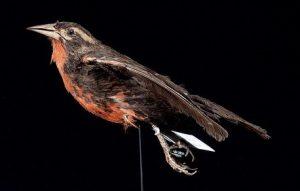 Animais extintos no Brasil: Peito Vermelho Grande