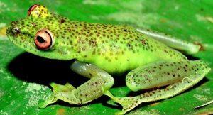 Animais extintos no Brasil: Perereca Verde da Fímbria