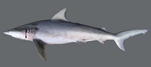 Animais extintos no Brasil: Tubarão Dente de agulha
