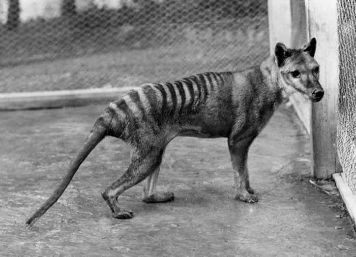 Animais extintos no mundo: Tigre da Tasmânia