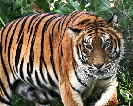 Animais extintos recentemente: Tigre do Cáspio