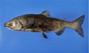 Animais extintos redescobertos: Kokanee Black