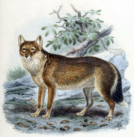 Animal extinto no mundo: Desenho da Raposa de Falkland