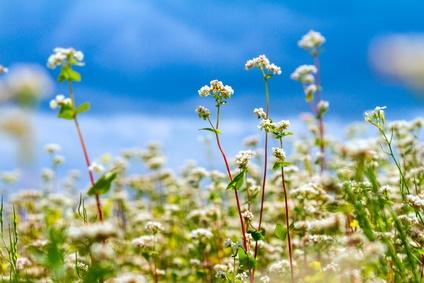 Buchweizen Pflanzen