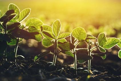 Junge Sojapflanzen
