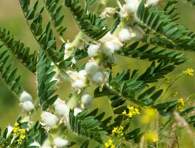Astragalus Membranaceus, Tragant