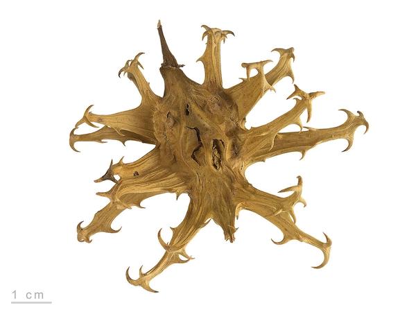 Teufelskralle Harpagophytum procumbens