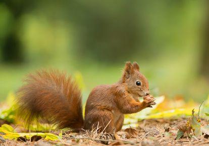 Aktivierte Nüsse, Eichhörnchen