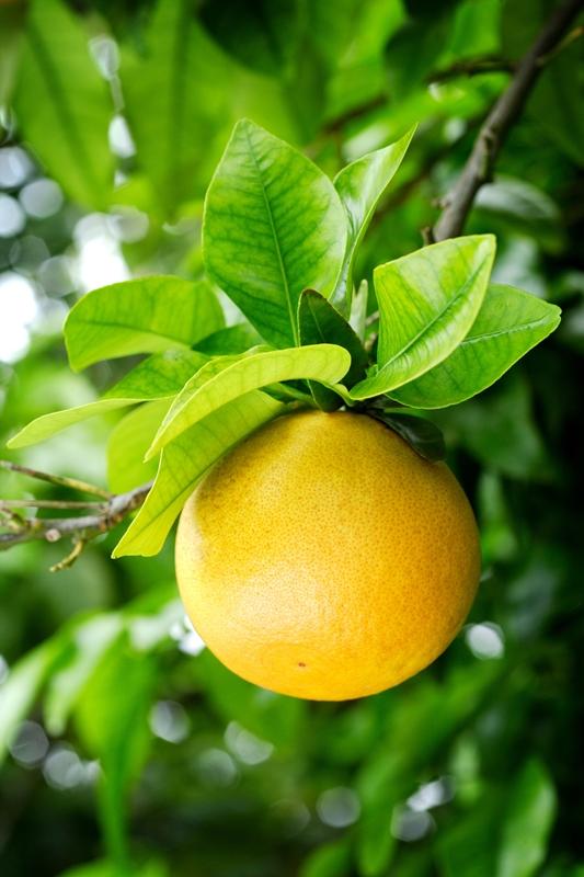 Grapefruit am Baum