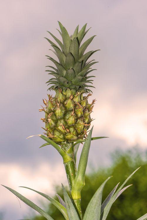 Bromelain, das Ananas Enzym