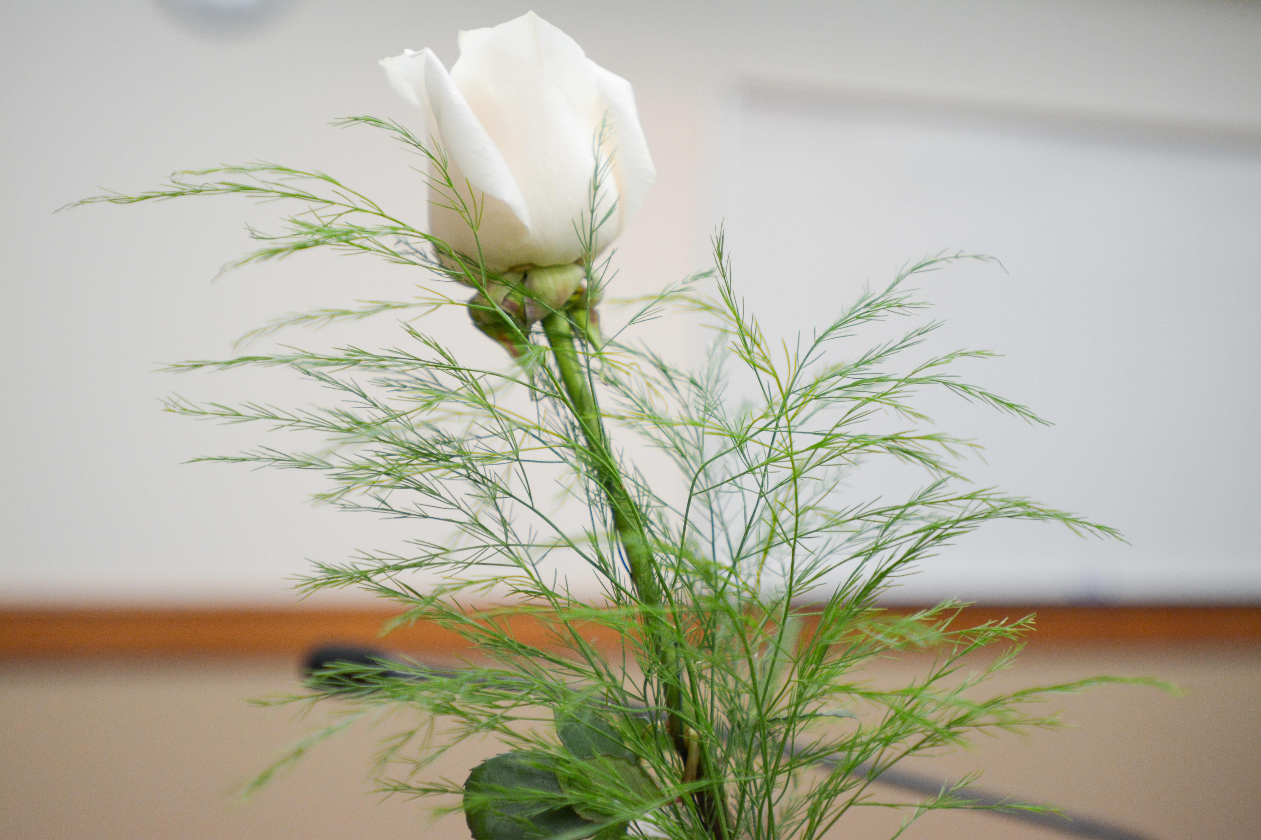 White rose 01