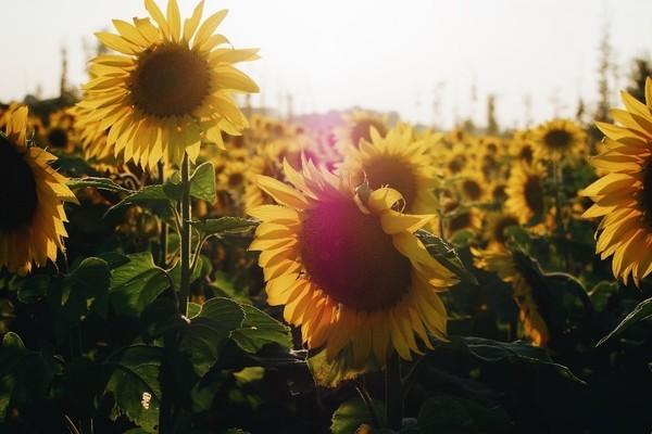 01 rachel metcalf sunflowers