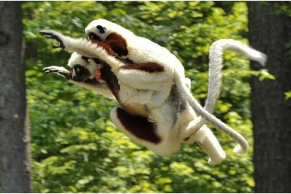 Lemurs in motion