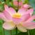 Nelumnonuciferaopenflowerbotanicgardenadelaide2