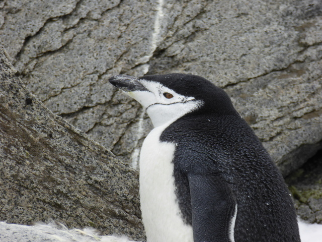 The aptly-named chinstrap penguin.