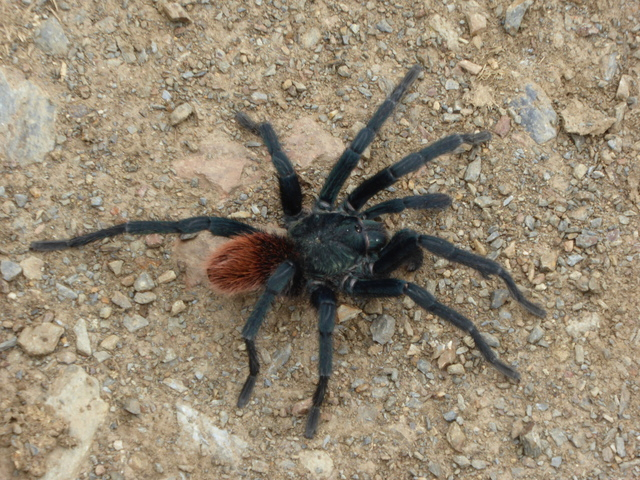 So cool, I had never seen a tarantula in the wild before.