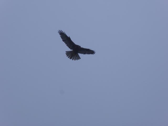 Andean falcon!