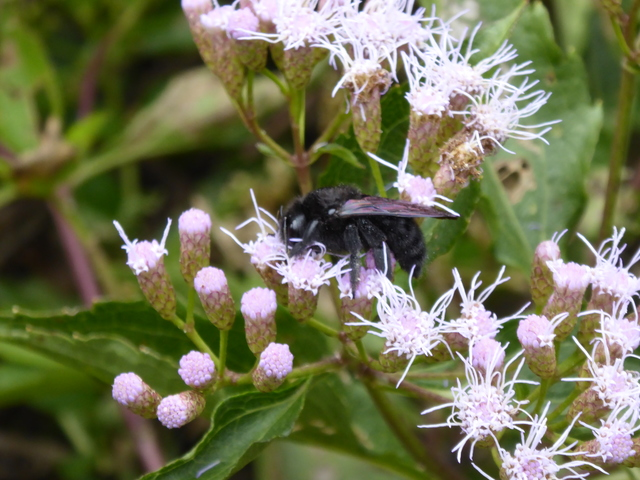 There were several of the giant black bees just sitting on the flowers. Maybe it was too cold for them to move around?
