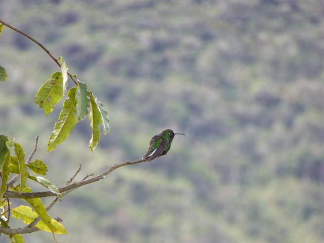 Maybe a Short-tailed Emerald Hummingbird?
