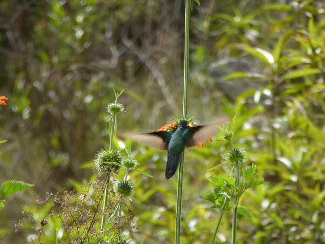 Another humming bird, not sure what kind.