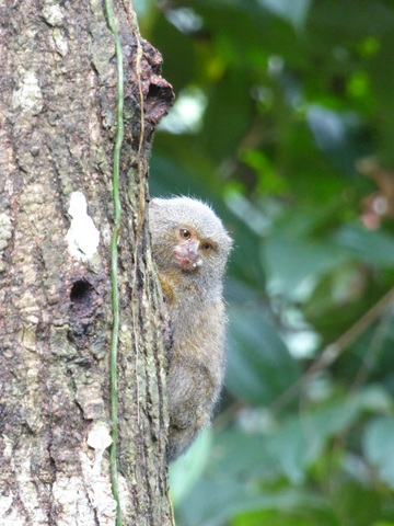 Pigmy marmoset, second smallest primate in the world!
