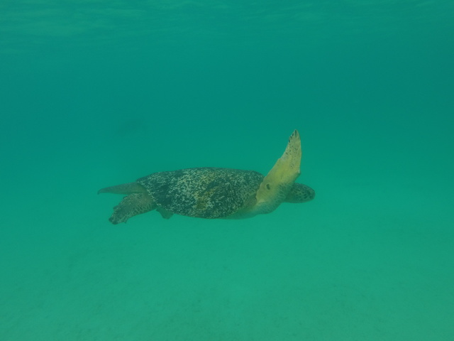 One of 3 or 4 Galapagos green sea turtle I swam with!