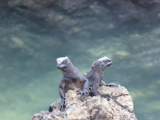 Juvenile marine iguanas.