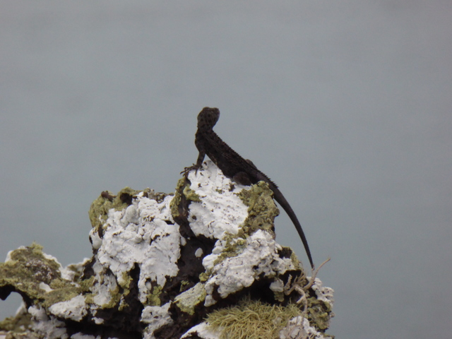 Lava Lizard perched on volcanic rock.